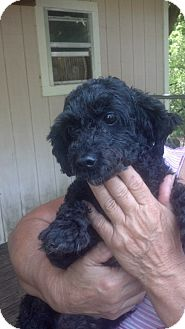 Poodle (Toy or Tea Cup) Dog for adoption in Crump, Tennessee - Millie