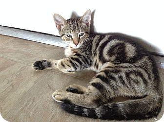 Domestic Shorthair Kitten for adoption in Los Angeles, California - Joel