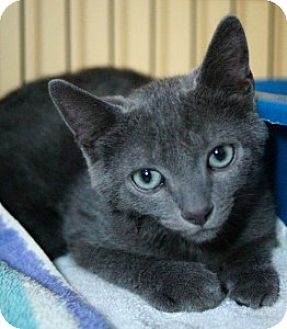 Domestic Shorthair Kitten for adoption in Medford, Massachusetts - Zeff