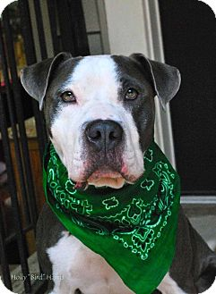 Pit Bull Terrier Dog for adoption in Baton Rouge, Louisiana - Cane