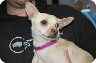 Chihuahua Mix Dog for adoption in Brooklyn, New York - Princess