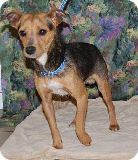 Miniature Pinscher/Feist Mix Dog for adoption in Allentown, New Jersey - Smokie