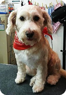 Standard Schnauzer/Poodle (Miniature) Mix Dog for adoption in Tampa, Florida - Scruffy