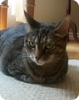 Domestic Shorthair Cat for adoption in Blackstock, Ontario - Shya - Adoption Pending