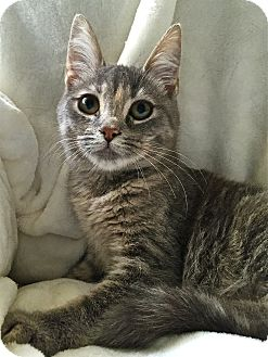 Domestic Shorthair Cat for adoption in South Haven, Michigan - Scruffy