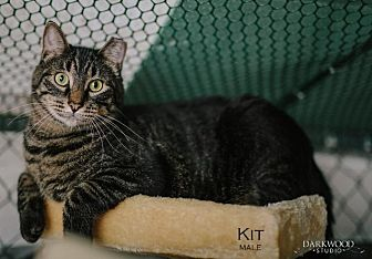 Domestic Shorthair Cat for adoption in St. Louis, Missouri - Kit (Courtesy Post)
