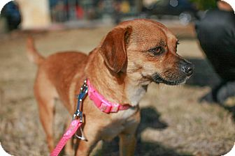 Chihuahua/Pug Mix Dog for adoption in Dallas, Texas - Jane