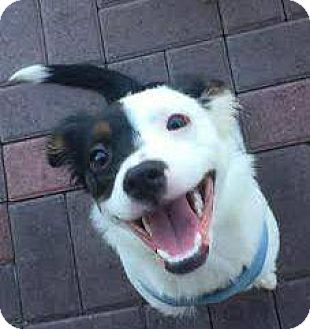 Border Collie/Australian Cattle Dog Mix Puppy for adoption in El Cajon, California - Candy ( ADOPTED)