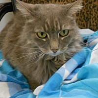Himalayan Cat for adoption in Fort Walton Beach, Florida - Kaiya