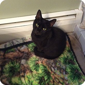 Domestic Shorthair Cat for adoption in Plainville, Massachusetts - Carly