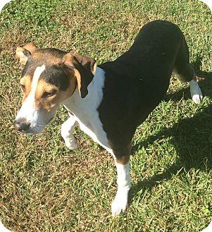 Treeing Walker Coonhound/Hound (Unknown Type) Mix Dog for adoption in Havelock, North Carolina - Teddy