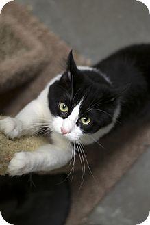 Domestic Shorthair Cat for adoption in Fremont, Nebraska - Garth