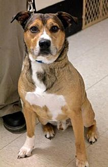 American Pit Bull Terrier/German Shepherd Dog Mix Dog for adoption in Anderson, Indiana - Rocco