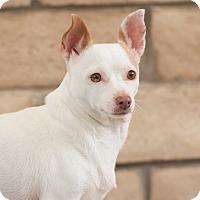 Adopt A Pet :: Honey - Coronado, CA