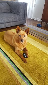 Chow Chow/Jindo Mix Dog for adoption in Los Angeles, California - Belle