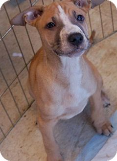 American Pit Bull Terrier/German Shepherd Dog Mix Puppy for adoption in Harriman, Tennessee - Daniel -San