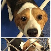 Adopt A Pet :: 2 tri color sweet beagles - New Kent, VA