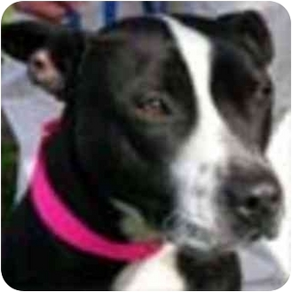 American Pit Bull Terrier Mix Dog for adoption in Berkeley, California - Buzzy