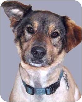 Shepherd (Unknown Type)/Golden Retriever Mix Dog for adoption in Grass Valley, California - Sierra