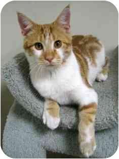 Domestic Shorthair Kitten for adoption in Norwalk, Connecticut - Nemo