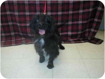 Scottie, Scottish Terrier Mix Dog for adoption in Little Falls, Minnesota - Scotty