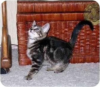 Domestic Shorthair Kitten for adoption in Irvine, California - Binky