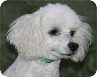 Poodle (Miniature) Mix Dog for adoption in Portland, Maine - Prince
