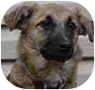 Collie/Shepherd (Unknown Type) Mix Puppy for adoption in Hamilton, Ontario - Sara