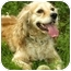 Photo 1 - Cocker Spaniel Dog for adoption in Windham, New Hampshire - Anna
