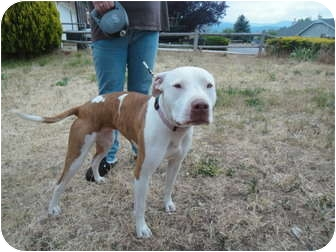American Pit Bull Terrier Dog for adoption in California City, California - Molly