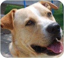 Labrador Retriever/Shepherd (Unknown Type) Mix Dog for adoption in Houston, Texas - Thunder
