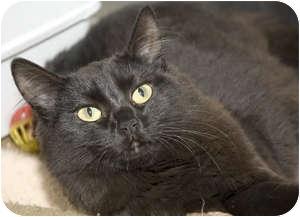 Domestic Mediumhair Cat for adoption in Tangent, Oregon - Oreo