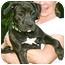 Photo 4 - Boxer/Labrador Retriever Mix Puppy for adoption in Marina del Rey, California - Angie