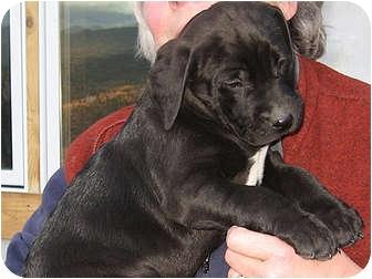 American Pit Bull Terrier/Labrador Retriever Mix Puppy for adoption in Republic, Washington - Buzz