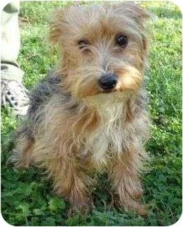 Yorkie, Yorkshire Terrier Dog for adoption in Hagerstown, Maryland - Ranger