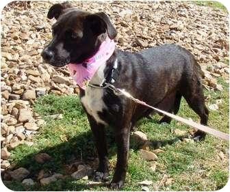 Pointer Mix Dog for adoption in Muldrow, Oklahoma - Polly