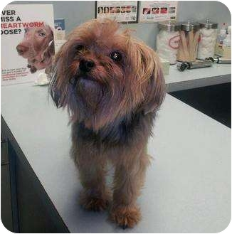Yorkie, Yorkshire Terrier Mix Dog for adoption in Beechgrove, Tennessee - Sophie