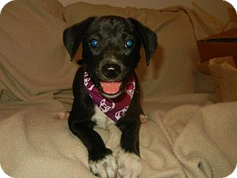 Jack Russell Terrier Mix Puppy for adoption in Hartford, Connecticut - Troy