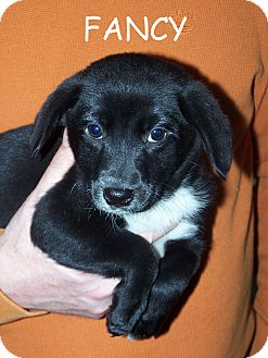 Flat-Coated Retriever/Border Collie Mix Puppy for adoption in Milford, New Jersey - Fancy