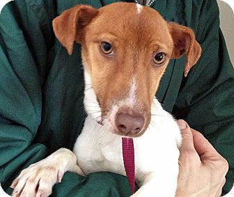 Jack Russell Terrier Mix Dog for adoption in Brighton, Michigan - Malcolm