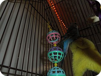 Parakeet - Other for adoption in Neenah, Wisconsin - Shasty