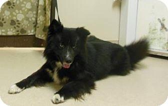 Siberian Husky/Collie Mix Dog for adoption in Gary, Indiana - Ringo