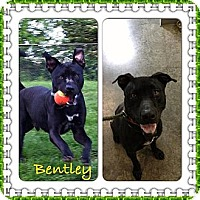 Pit Bull Terrier Mix Dog for adoption in Louisville, Kentucky - Bentley II (COURTESY POST)