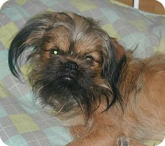 Brussels Griffon Mix Dog for adoption in Homer Glen, Illinois - Stitch