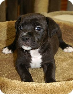 Pit Bull Terrier Mix Puppy for adoption in Englewood, Florida - Lexi
