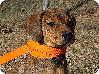 Hound (Unknown Type)/Labrador Retriever Mix Dog for adoption in Laingsburg, Michigan - Giget