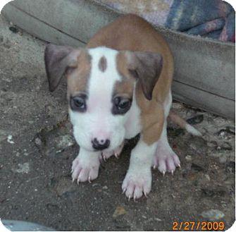 Boxer/Labrador Retriever Mix Puppy for adoption in Long Beach, California - St Pauly Girl