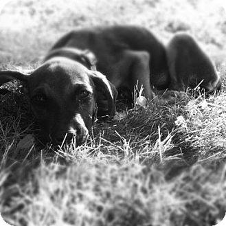 Hound (Unknown Type) Puppy for adoption in Cool Ridge, West Virginia - Joanie