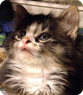 Maine Coon Kitten for adoption in Franklin, West Virginia - Irish