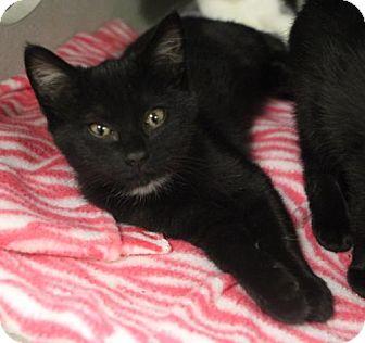 Domestic Shorthair Kitten for adoption in Atlanta, Georgia - Elvira